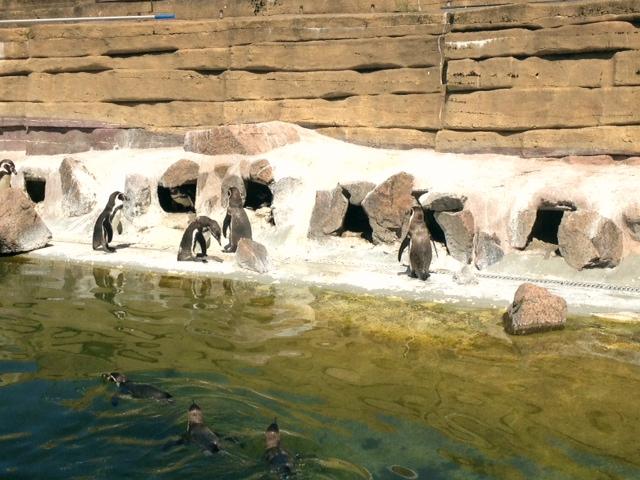 Pingu med familj