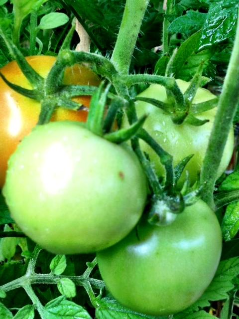 Ostekta gröna tomater.